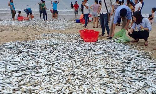 Hơn 3 tấn cá mạu dạt vào bờ, người dân đổ xô đi bắt