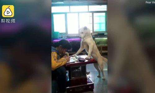 Ông bố huấn luyện chó để ngồi canh con gái học