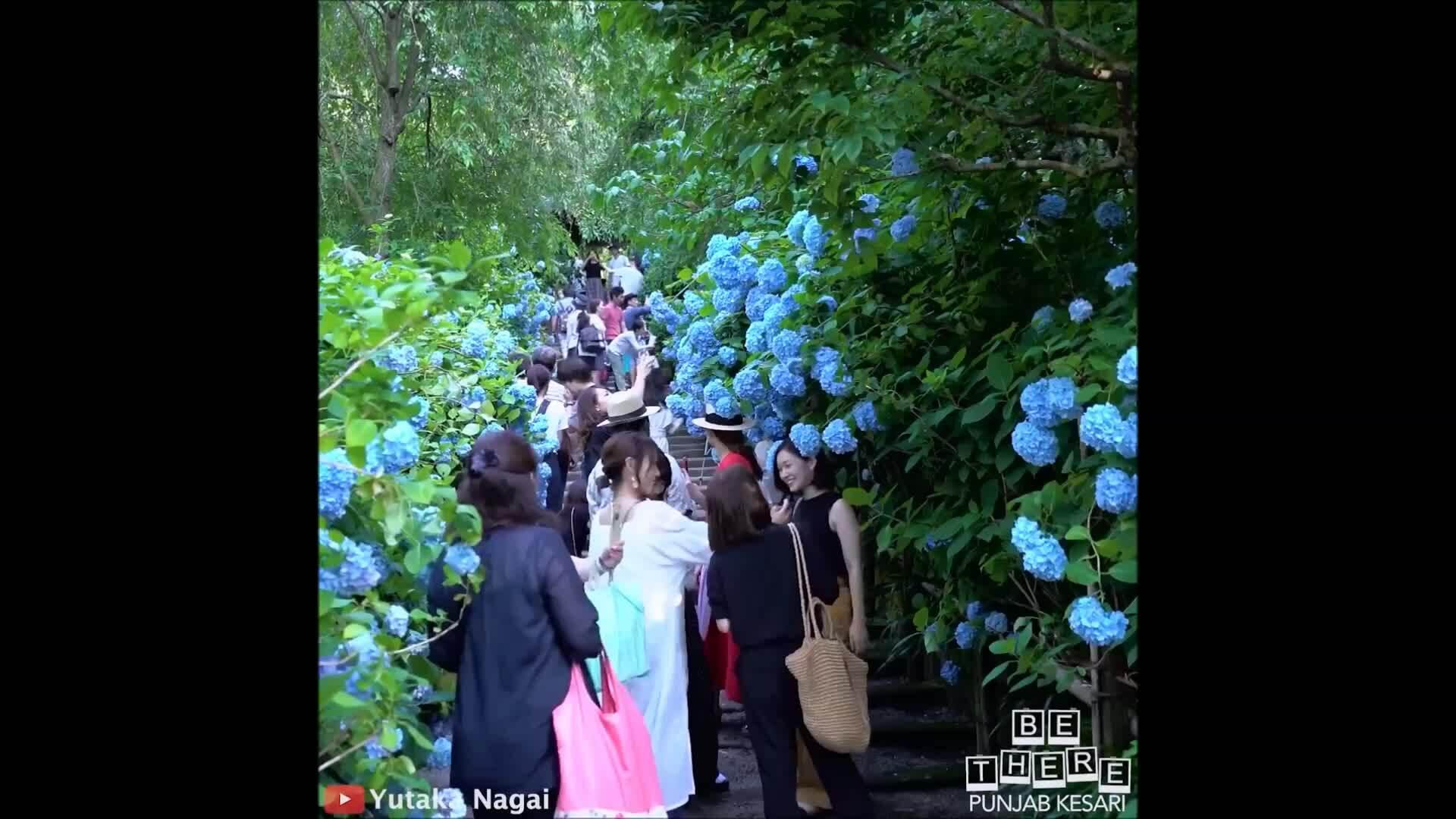 Vườn cẩm tú cầu đẹp 'nức nở' ở Nhật Bản