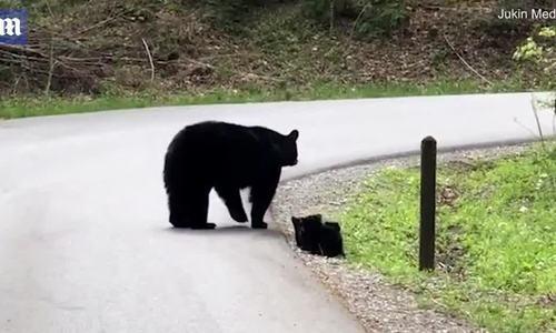 Gấu mẹ ân cần dẫn dắt 4 con băng qua đường