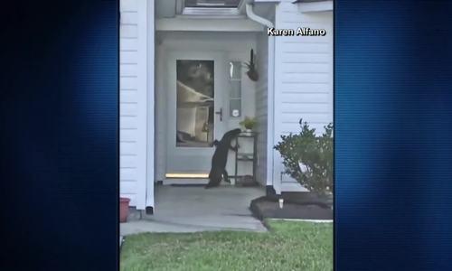 Cá sấu cố bấm chuông để đòi vào nhà