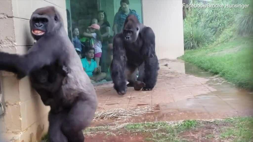 Gia đình khỉ đột 'tránh mưa như tránh tà'