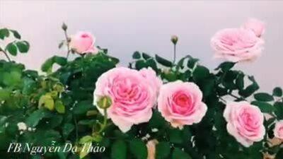 Sân thượng trăm gốc hồng ngoại của nhà Quyền Linh