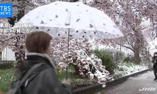 Tuyết bỗng rơi dày giữa mùa hoa anh đào