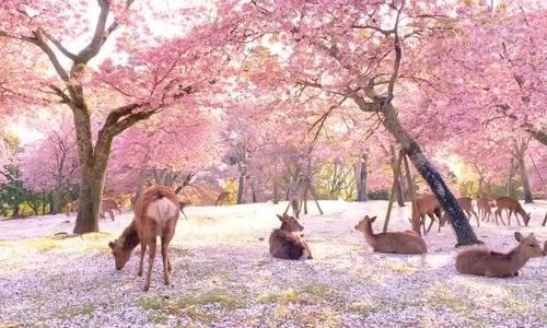 Công viên nai ở Nhật Bản như 'vườn địa đàng'
