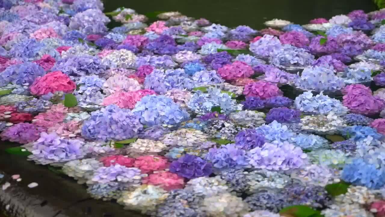 Hoa cẩm tú cầu trong nước ở Nhật Bản