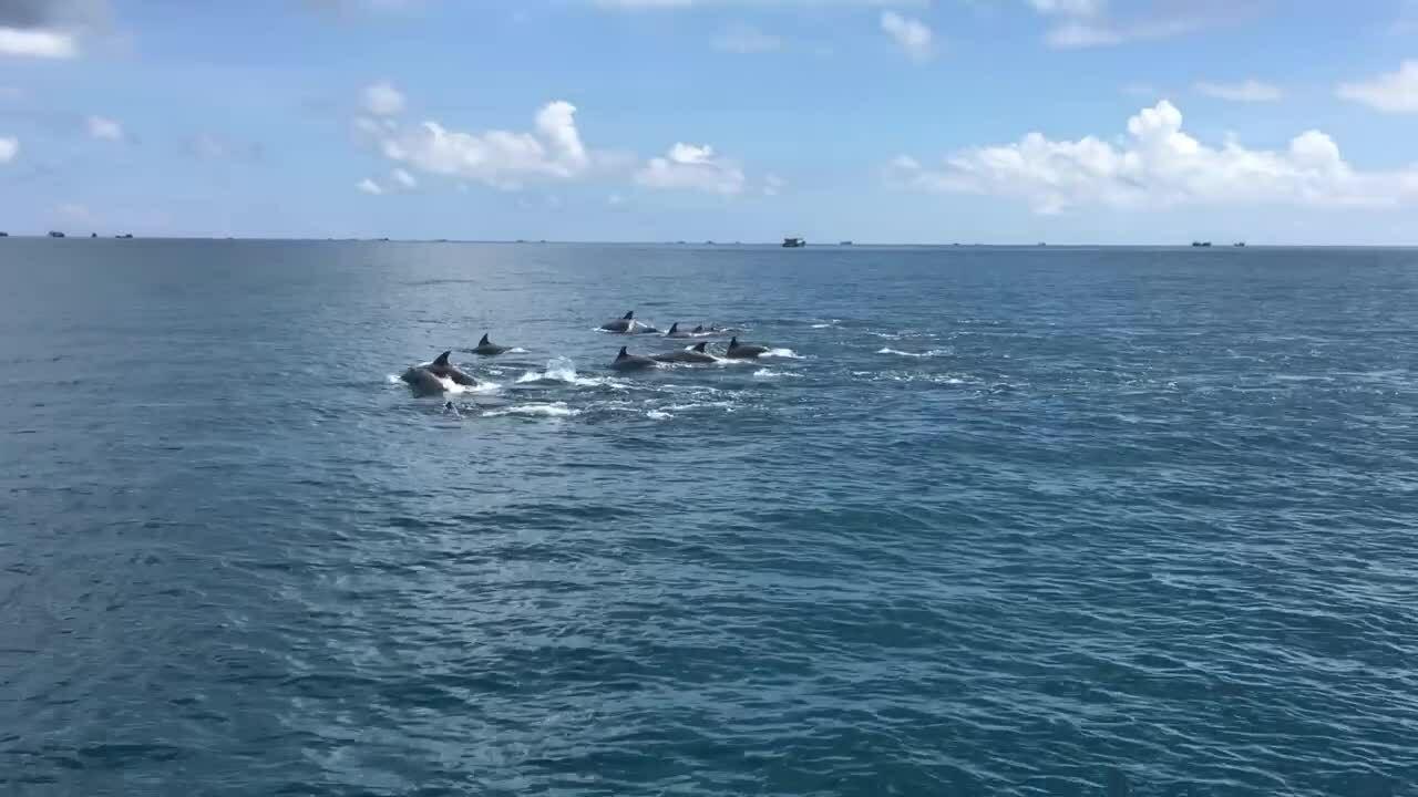 Ngắm đàn cá heo bơi tung tăng ở đảo Phú Quý