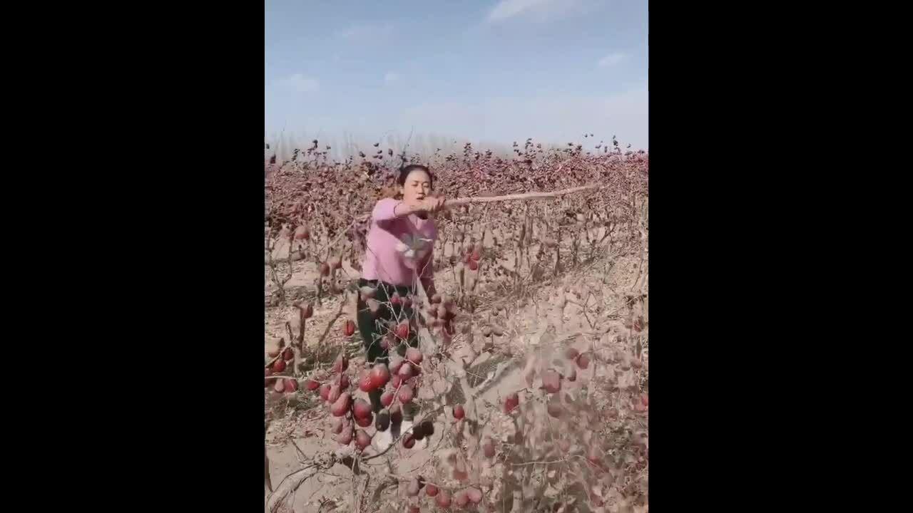 Thu hoạch táo tàu đất cát lẫn lộn