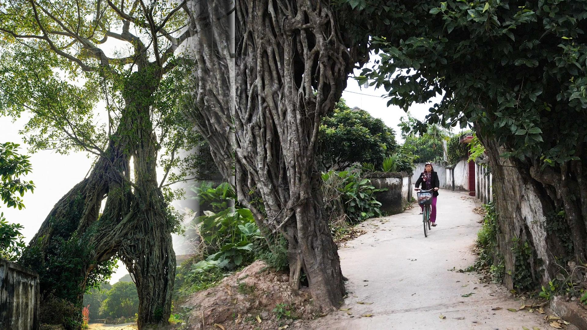 Cổng làng tạo từ cây đa 500 tuổi
