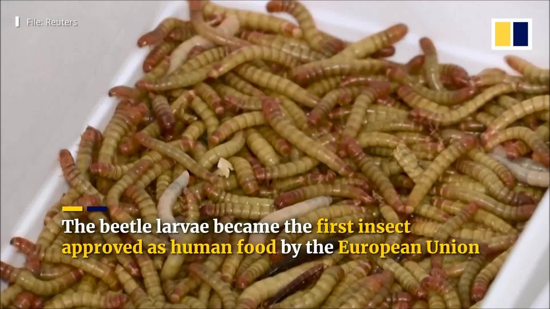 Dân châu Âu ăn sâu bột