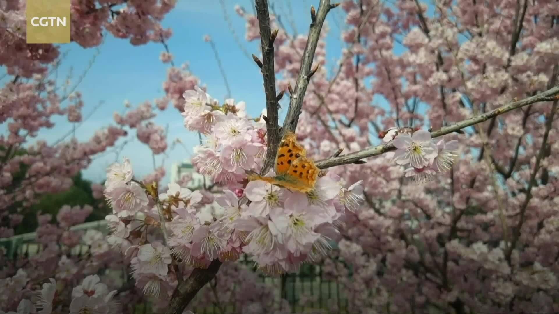 Vũ Hán hồi sinh trong mùa hoa anh đào sau đại dịch