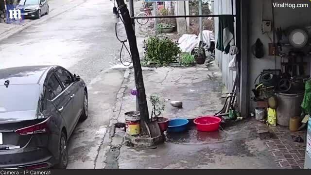 Video cá 'vượt ngục' khỏi chậu ở Tuyên Quang lên báo Anh