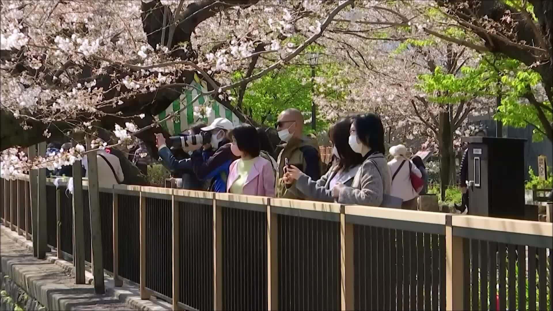 Đi hop on hop off ngắm hoa anh đào ở Nhật