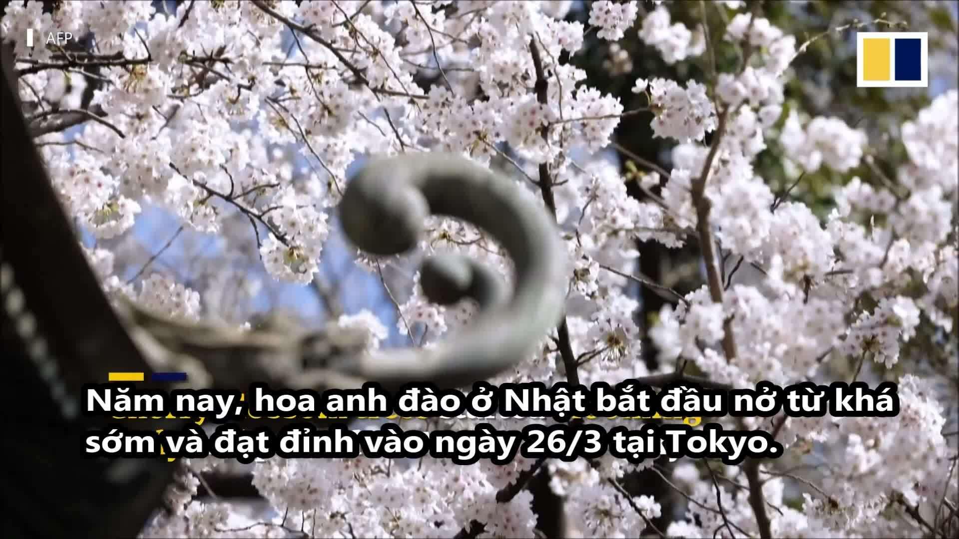 Mùa hoa anh đào ở Nhật đến sớm nhất sau 1.200 năm