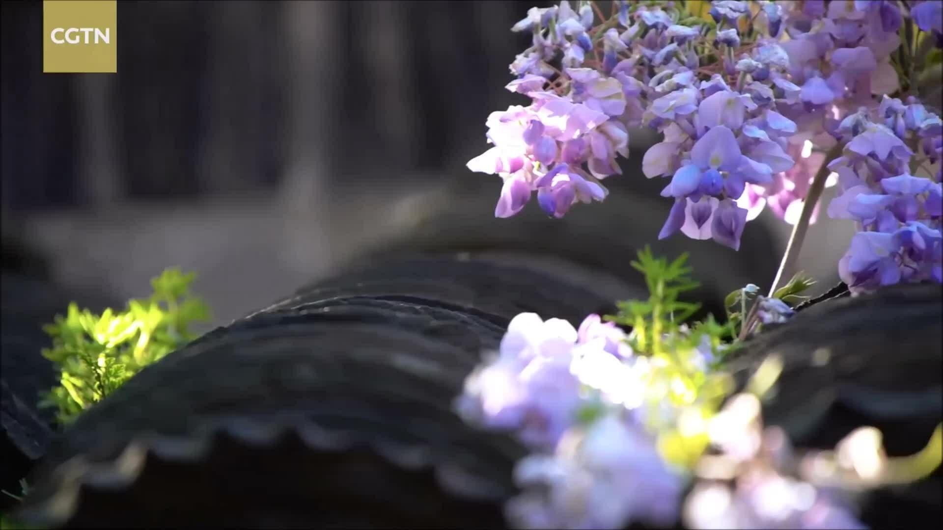 Cây tử đằng 440 năm vẫn nở hoa ở Trung Quốc