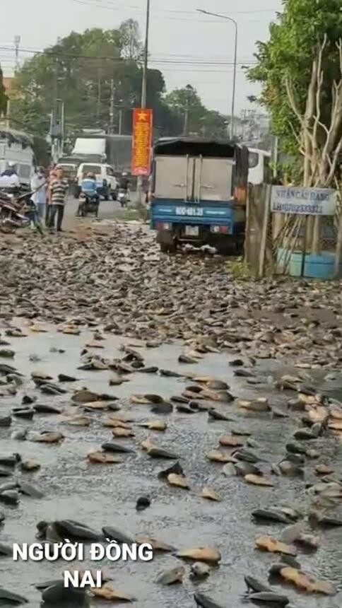 Hàng nghìn con cá rơi xuống đường ở Đồng Nai