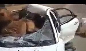 Lạc đà 'hạ cánh' trên nóc xe hơi