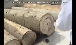 70.000 bao thuốc lá lậu được giấu trong thân gỗ
