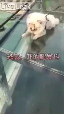Chó sợ sệt khi đi cầu kính cao nhất thế giới