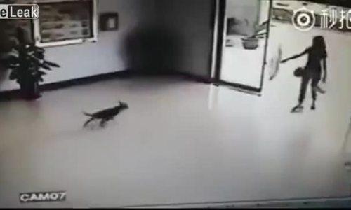 Chó thi nhau đập đầu vào cửa kính