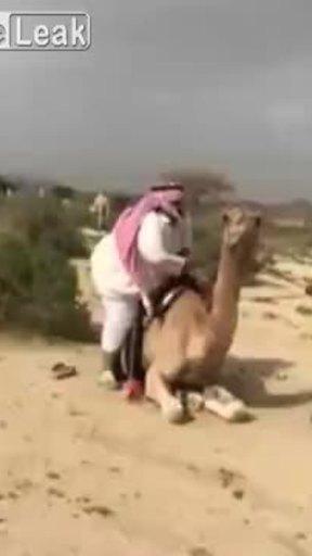 Khi người béo cưỡi lạc đà