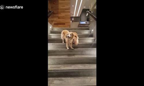 Chú chó dẫn bạn bị mù xuống cầu thang