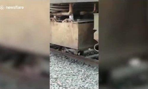 Con bò thoát chết thần kỳ dưới bánh tàu hỏa