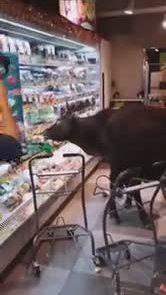 """Bò """"đi"""" siêu thị"""