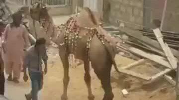 Cái kết khi trêu lạc đà