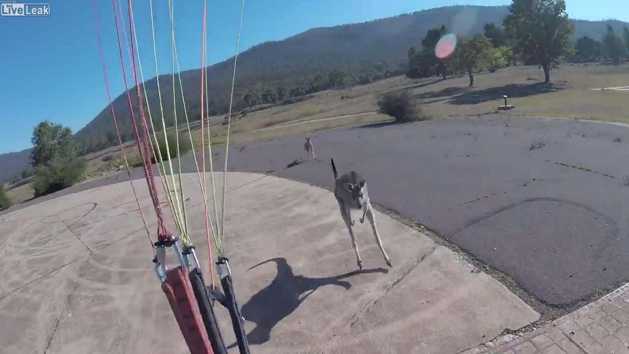 Kangaroo tấn công người nhảy dù