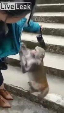Khỉ chặn đường, móc túi du khách