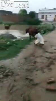 Lướt sóng với bò