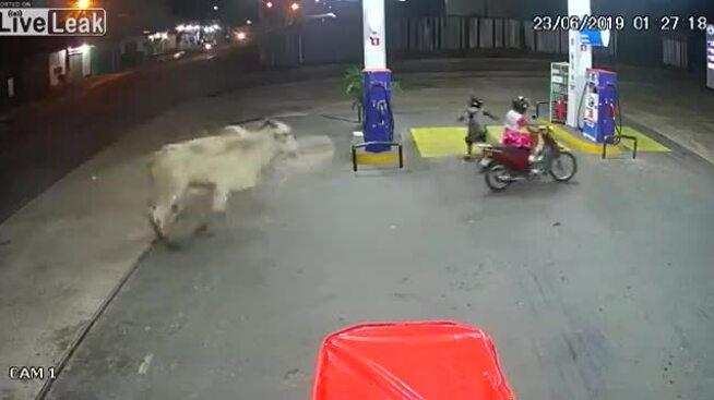 Bò tấn công cây xăng
