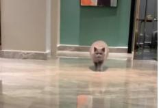 Mèo con khóc vì nhớ chủ 'gây bão' mạng xã hội
