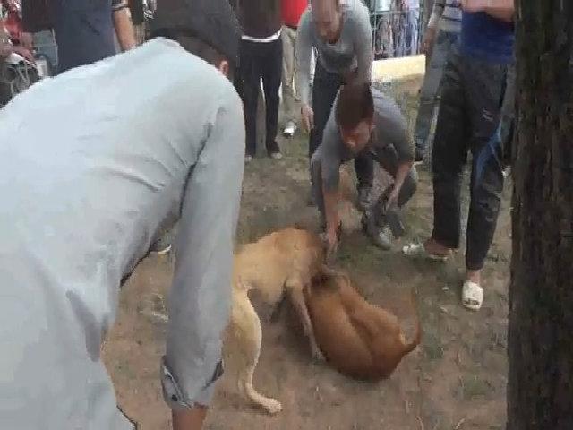 Chọi chó đẫm máu tại Hà Nội