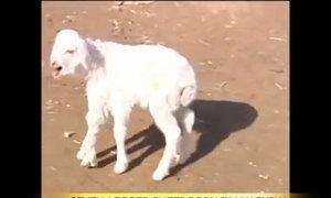 Cừu 7 chân ở Trung Quốc