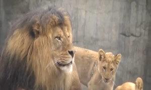 Sư tử đực lần đầu gặp con