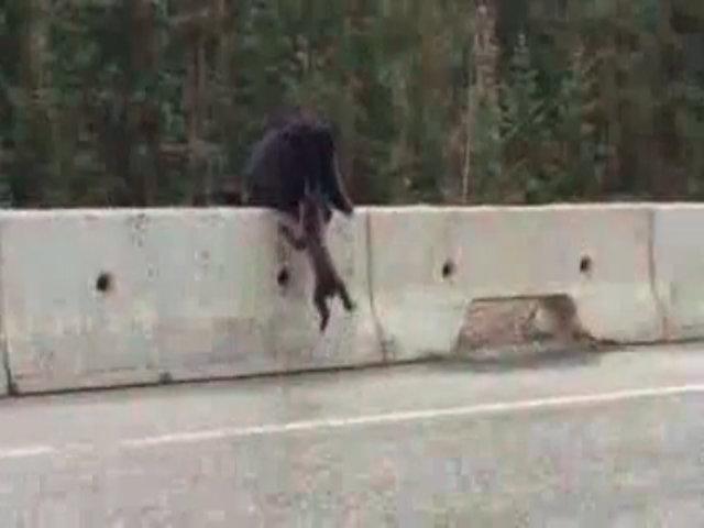 Gấu mẹ cứu con trên đường cao tốc