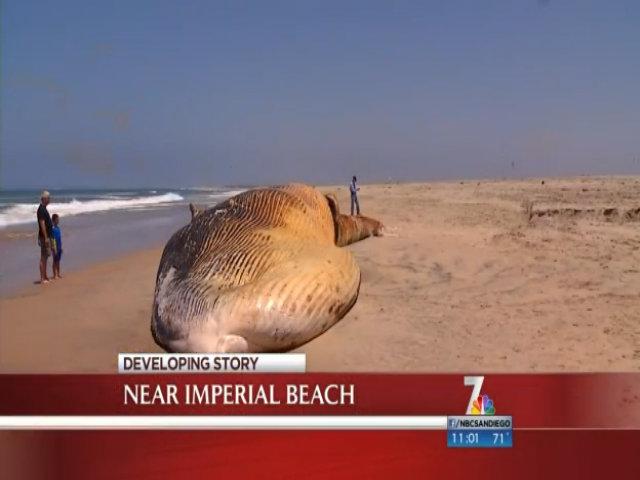 Xác cá voi trôi dạt bờ biển Mỹ