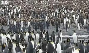 Mùa sinh sản của chim cánh cụt