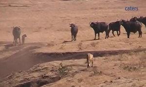 Đàn trâu rừng hợp sức bảo vệ trâu con