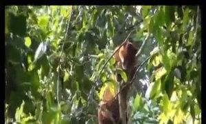 Video hiếm về loài beo vàng châu Phi