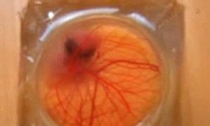 Quan sát phôi thai bên trong quả trứng chim