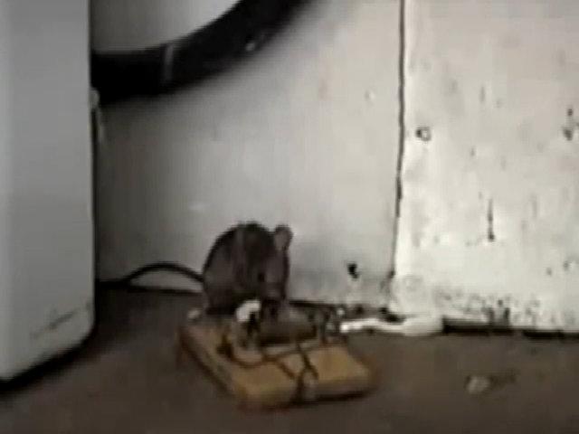 Chiếc bẫy chuột bá đạo nhất thế giới