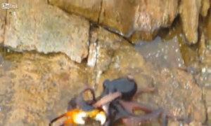 Bạch tuộc nhảy lên bờ tấn công đối thủ