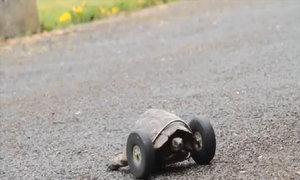 Rùa 90 tuổi được lắp chân giả bằng bánh xe
