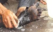 Nông dân Sài Gòn chân đen như than sau 2 giờ lội ruộng