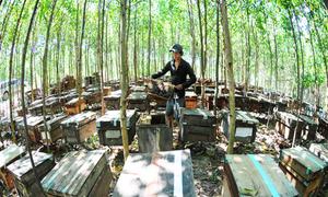 Thu hàng trăm triệu đồng từ nuôi ong mật dưới tán rừng