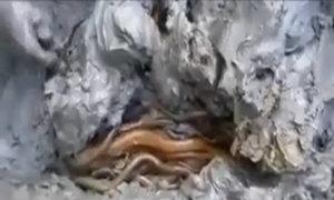 Trăm con lươn trong một mét vuông