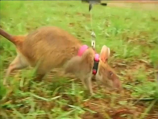 Chuột túi khổng lồ châu Phi dò mìn ở Campuchia